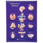 RVFM Endocrine System Model Activity Set
