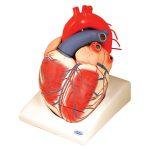 RVFM Giant Heart