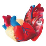 Learning Resources Cross Section Foam Human Heart Model
