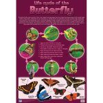 Life Cycle – Butterfly Wall Chart
