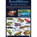 Amphibians – Frogs Wall Chart